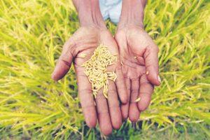 Local rice varieties the key