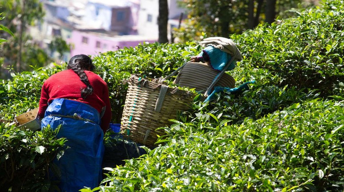 Tea wage, Joint Forum, Minimum Wages Act, tea workers