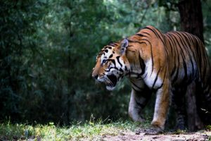 Over 50,000 trees to be axed in Uttar Pradesh's tiger habitat