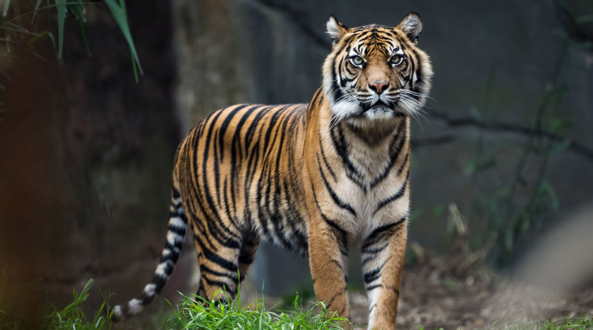 tiger, Wild tiger, Lions