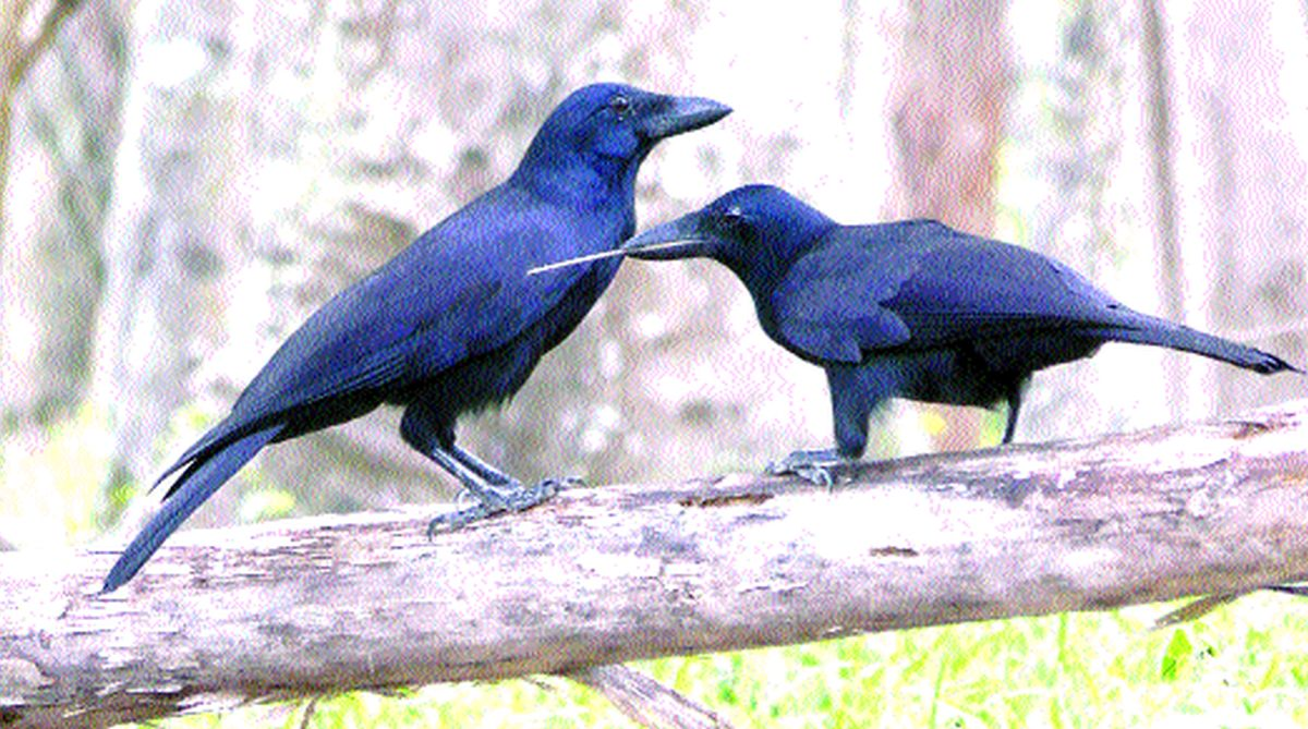 humans, New Caledonian crows, animal species