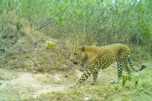 Fresh kill indicates man-eating leopards active in Raiwala