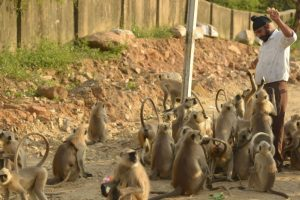 Group of monkeys kill 59-year-old woman in Agra