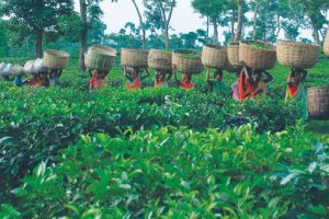 As govt plans wage hike, planters reluctant?