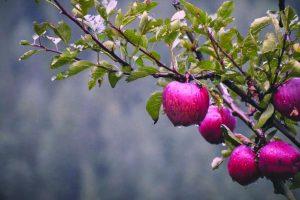 Lean apple harvest forecast