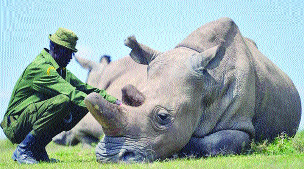 northern white rhinos, rhino population, Thomas Hildebrandt