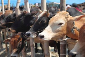 220 cow carcasses seized from Rajasthan warehouse