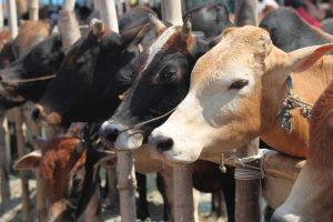 Cow exhales oxygen, should be made 'mother of the nation': Uttarakhand minister