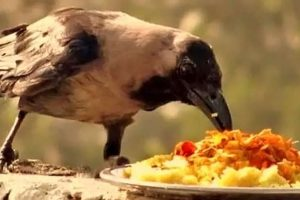 Why you should feed birds, animals and Brahmins during Pitri Paksha