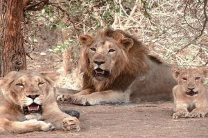Guj starts vaccination of Gir lions, vets called in