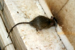 Police hold rats responsible for burglar alarm in bank branch