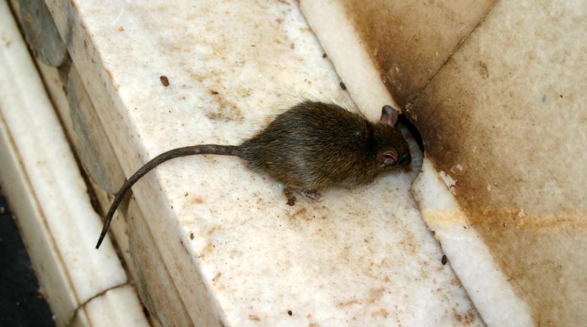 Rat bank India