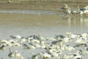 Pong Dam to become birdwatchers' paradise