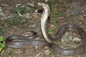Himachal lacks strategy to handle snakebite cases