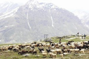 Himachal sends two teams to help shepherds