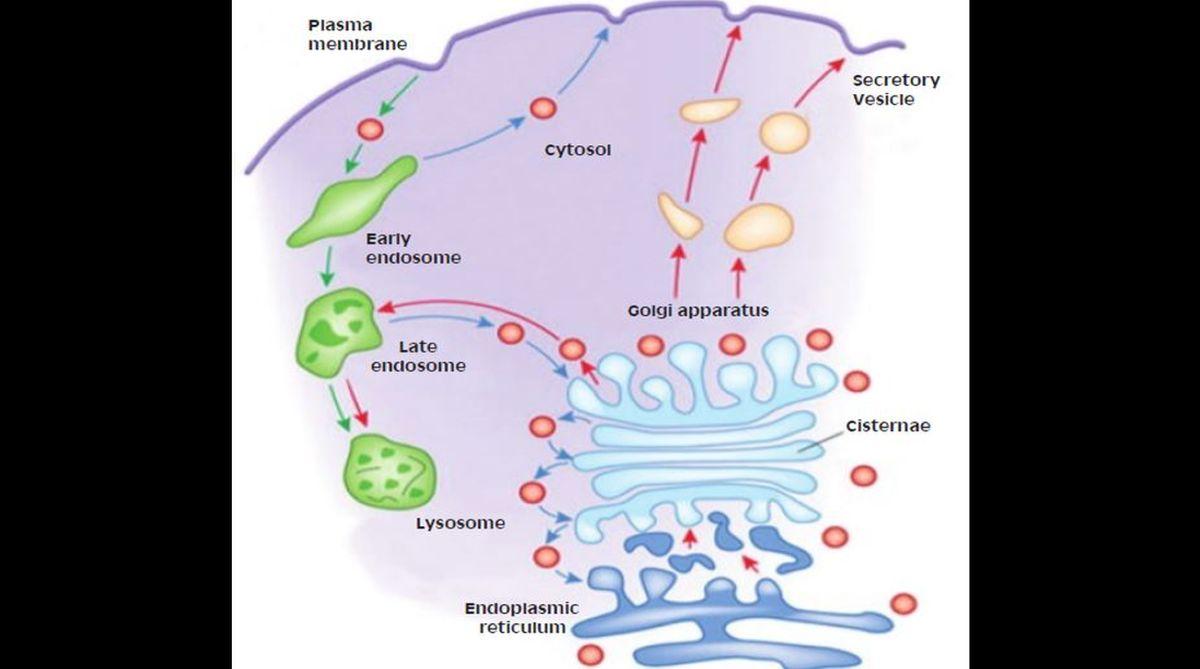 Endoplasmic reticulum, Golgi complex, membrane lipids, protein