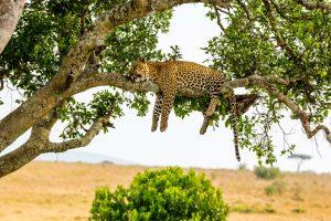 Carcass of headless leopard found in Bargarh