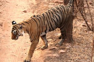 Tigress Sundari kills man, injures three including TV journalist in Angul