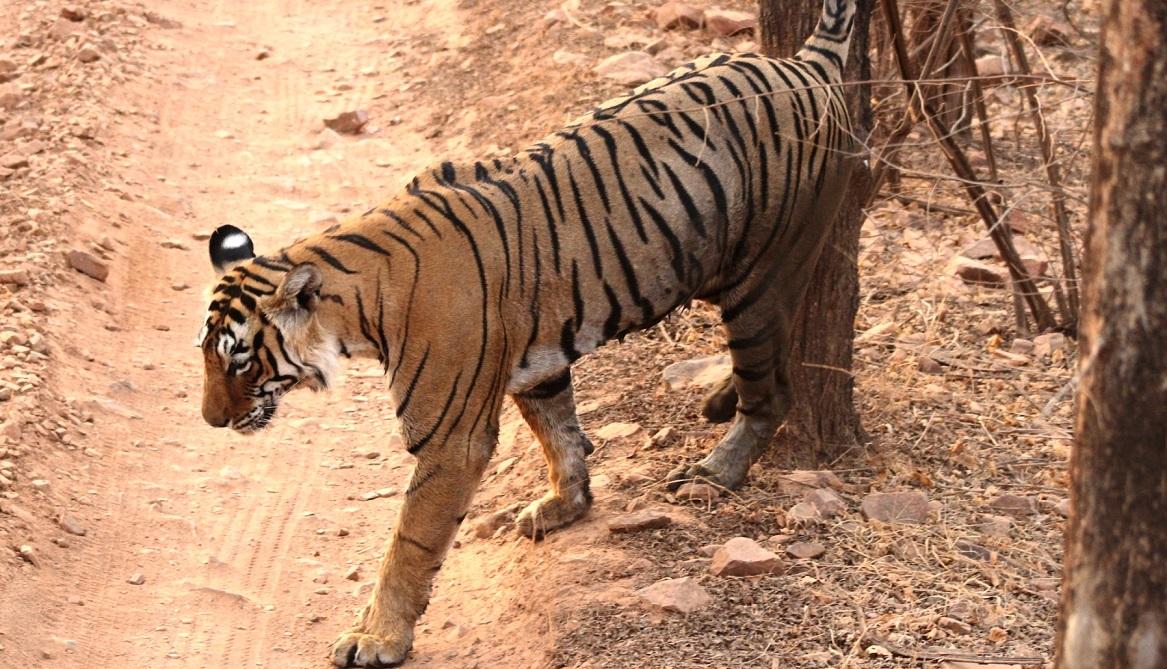 Odisha: Tigress Sundari kills man, injures three including TV journalist