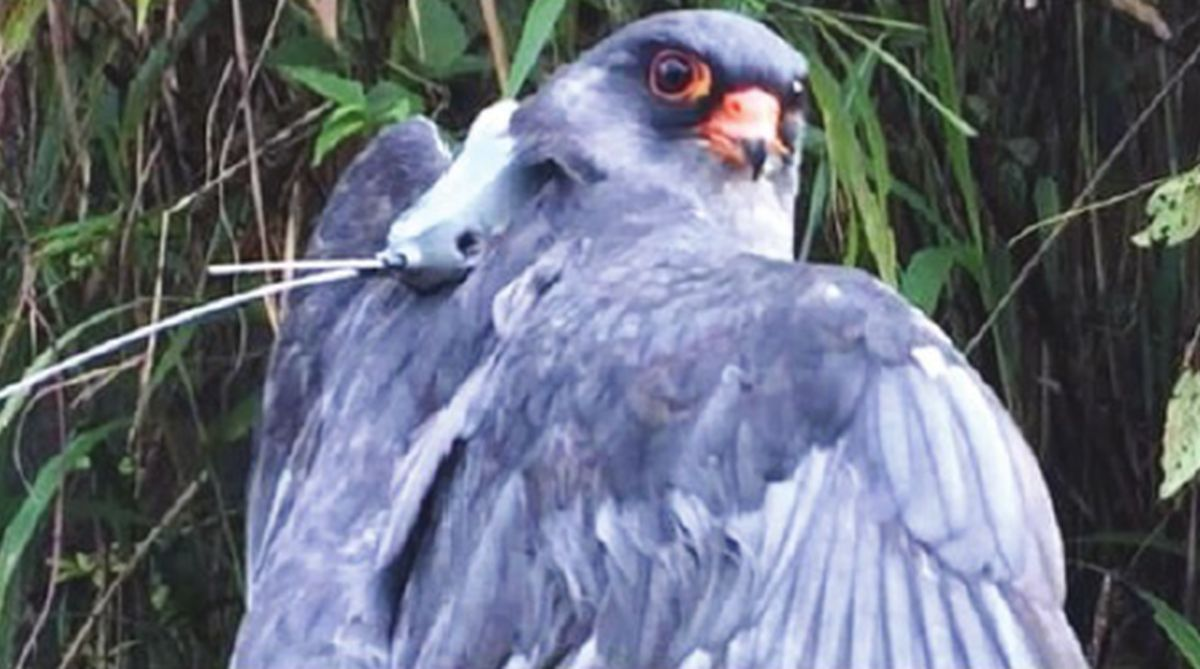 Amur Falcon: Flying to its death