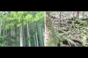 Aokigahara Forest: End of the road