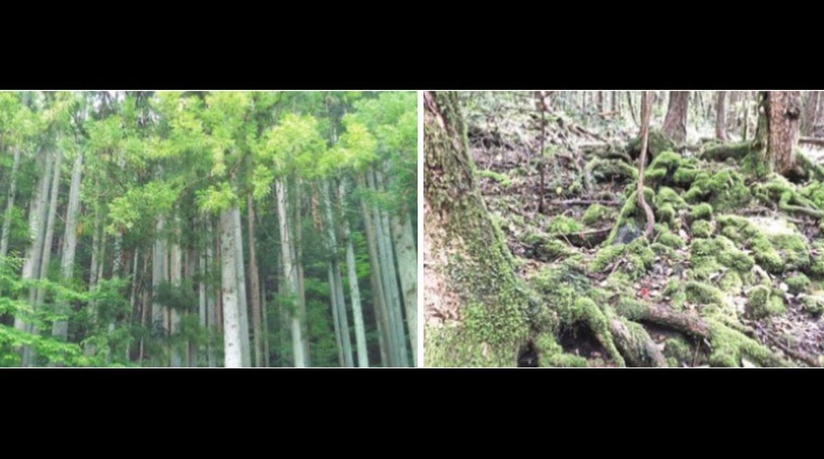 Aokigahara Forest, Mount Fuji, Japan, Sea of Trees, suicide forest, Malaysia