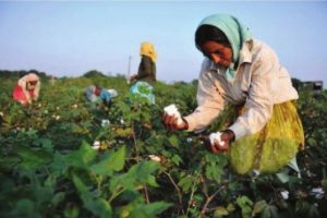 Maharashtra: Healthy cotton farming