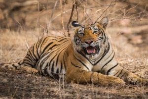 After Avni, UP villagers kill tigress by running tractor over it for mauling man