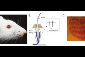 Tests on specially-trained rats show how the brain regulates perception