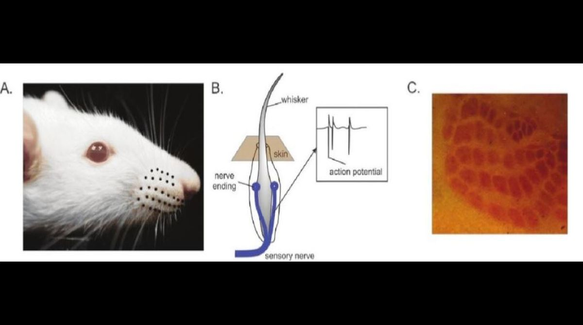 rats, brain, Hertie Institute, clinical brain research, Schizophrenics, whiskers, University of Tübingen, chronic pain