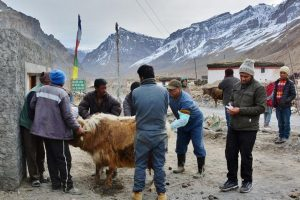 Infertility treatment camps for animals in tribal Spiti