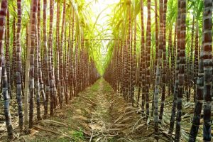Australia goes to WTO over India's sugar subsidy scheme