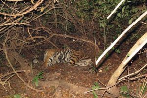 Odisha tiger death: Did the radio collar cause the fatal wound?