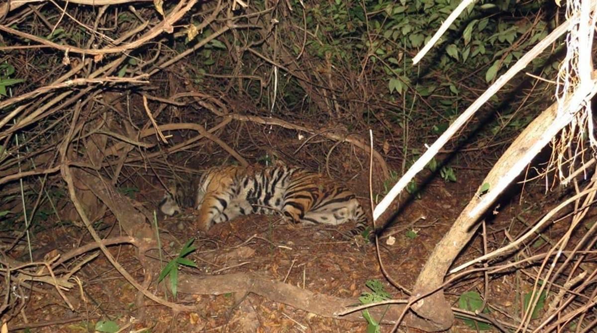 Odisha tiger death, radio collar, Kanha tiger, Kanha tiger dead, Satkosia tiger, Satkosia translocation, Satkosia Tiger Reserve