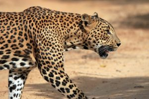Leopard spoils remote village's cricket tournament by stealing 'prize'