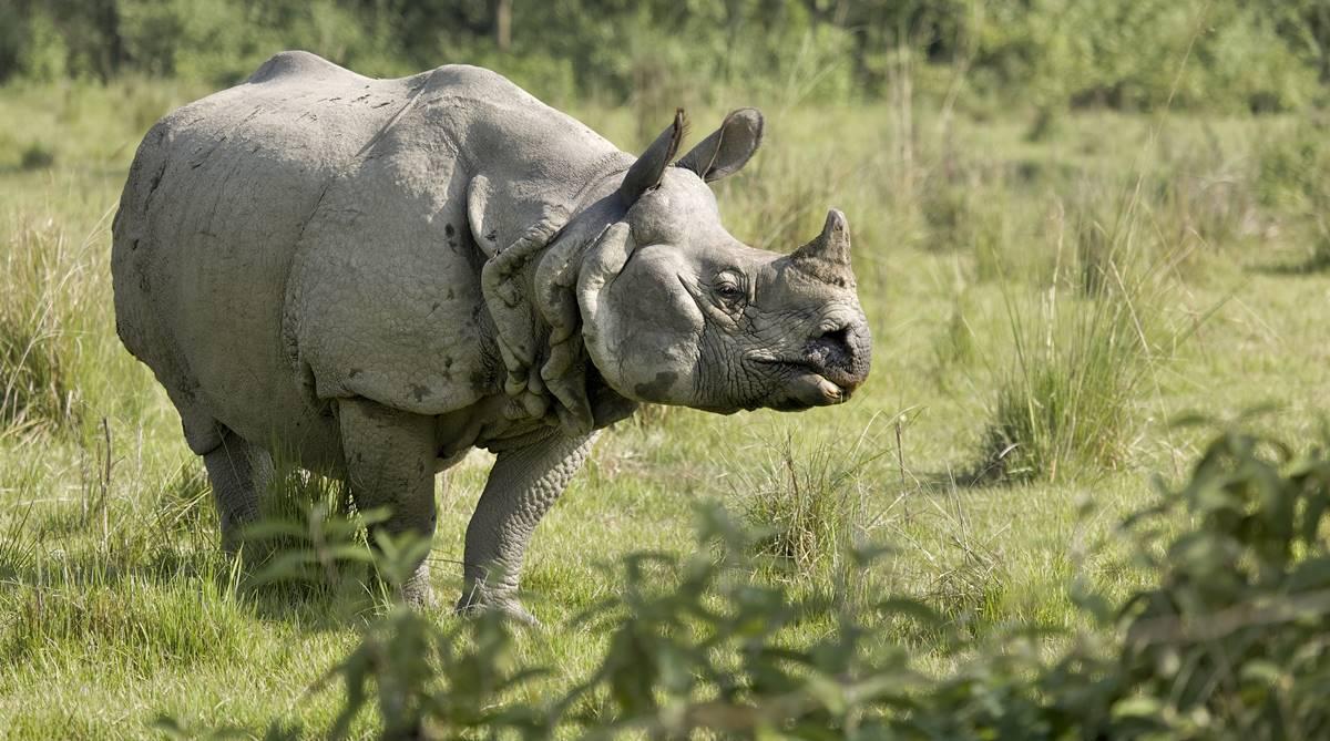 One-horned rhino, Poaching case, Gorumara National Park, Jalpaiguri, West Bengal, Nisha Goswami, Jaldapara