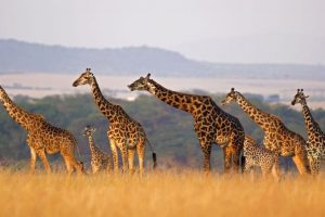 Dreadful facts: Giraffe is almost extinct