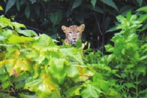 The 'good' leopards of Mumbai's urban forest