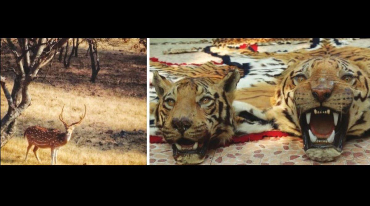 wild, wildlife,man-eaters,Ravi Singh,WWF India,Human-animal conflict,NTCA,elephants,William Blake,lions,tiger,WPSI,Sarika Tiger Reserve,Ranthambhore National Park