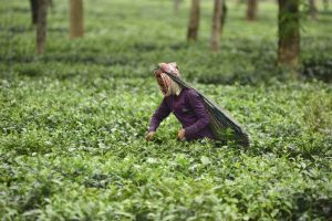 Tea Talk: To pluck, or not to pluck