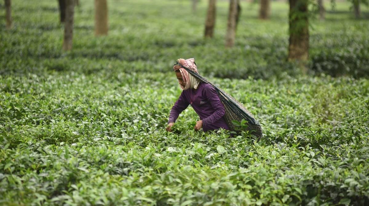 Tea Board of India,Tea Talk, Tea gardens, Quality tea