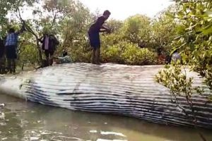 Body of giant sized whale washes ashore in Gahirmatha