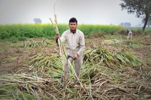 Poll season on but sugarcane farmers in Western UP wait for clearance of dues