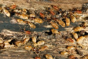 Termites: Fascinating insects!