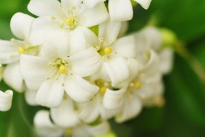 Create your own little heaven growing aromatic jasmine flowers
