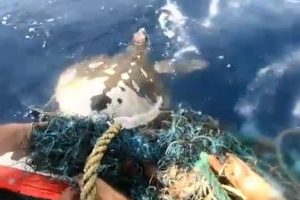 Watch | Indian Coast Guard sailors save life of endangered Olive Ridley Turtle