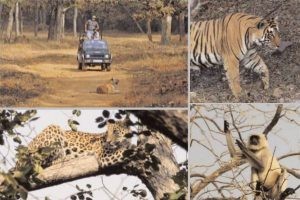Gaming by the Queen in Tadoba-Andhari