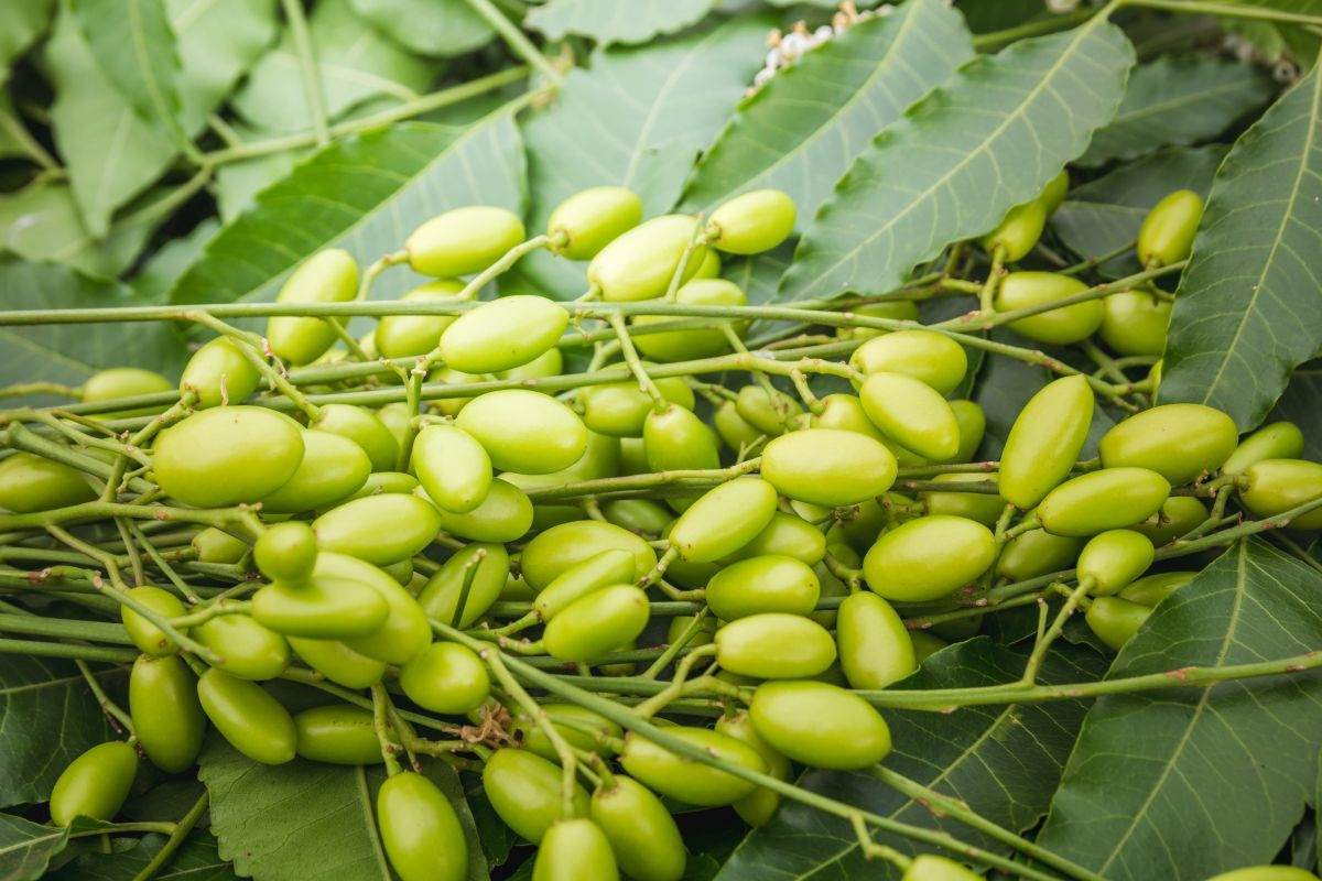 These Neem benefits will change your life