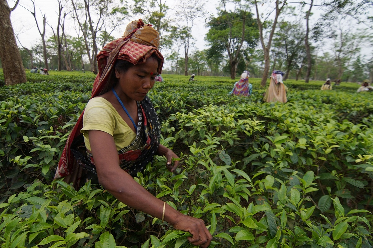 Tea exports down 7% in volume during Jan-Feb