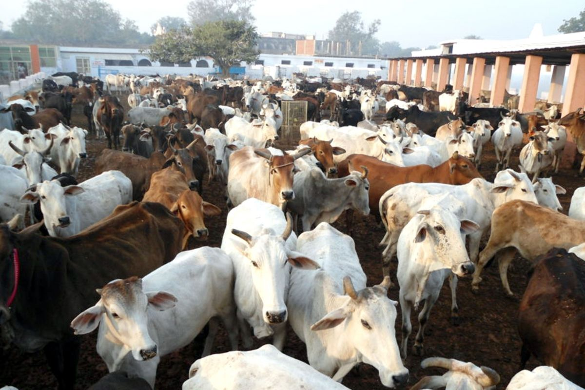 Ayodhya ashram, cow rape, Raj Kumar, Ayodhya police, Kartaliya Baba Ashram, CCTV footage